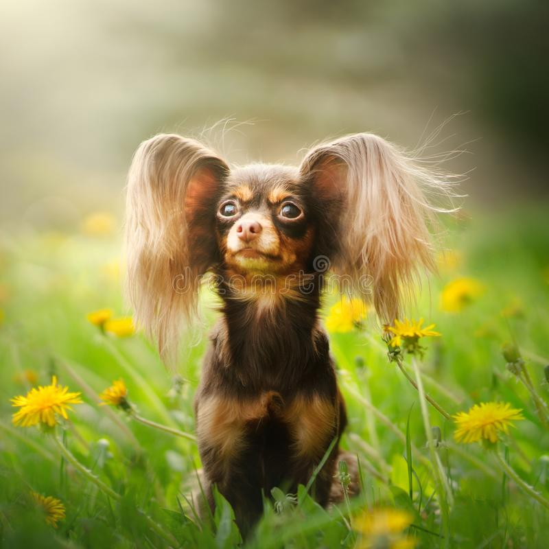 Russian Toy Terrier Dog Long Haired. Outdoor stock photos