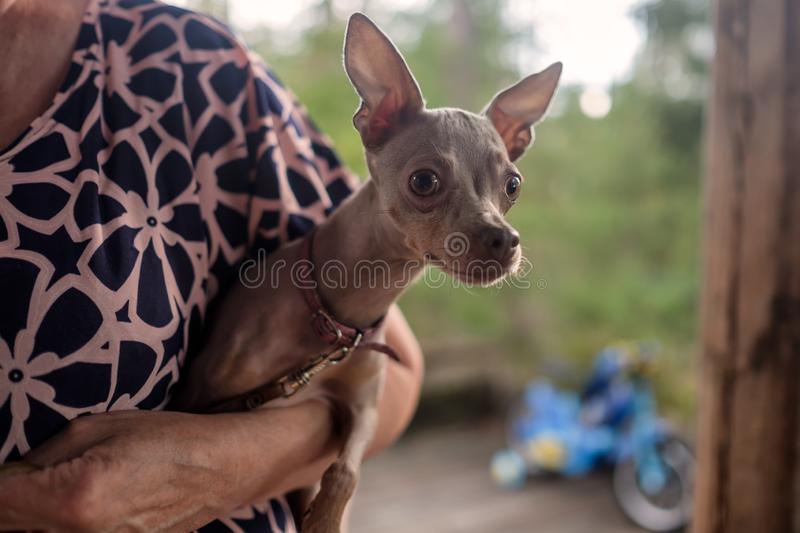 Russian Toy Terrier sitting on hands of his owner. stock photography