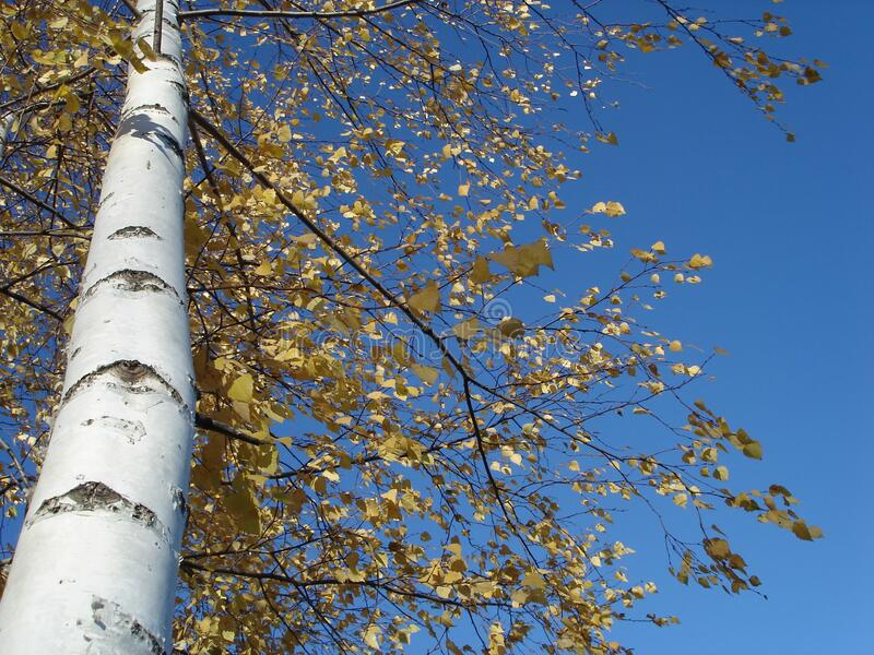 Russian white birch with gold leaves against the sky in autumn stock photo