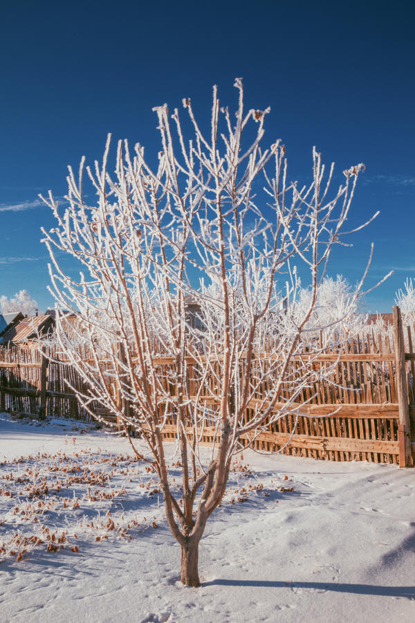 Russian winter apple tree stock photography