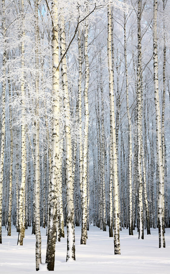 Download Russian Winter - Birch Grove On Blue Sky Background Stock Image - Image: 29024683