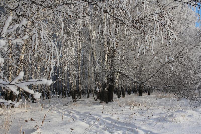 Russian winter forest snow trees snow covered roads snow frost birch ski tracks in the snow, Sunny weather the seasons the royalty free stock images