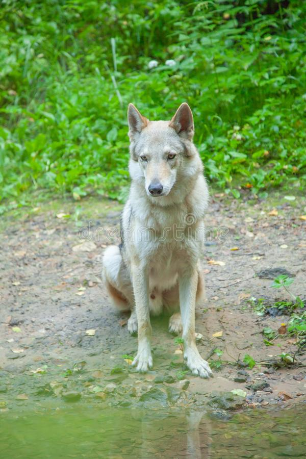 Russian wolfdog walking and playing in nature in the forest. Czechoslovakian wolfdog running playing in nature and enjoy royalty free stock photo