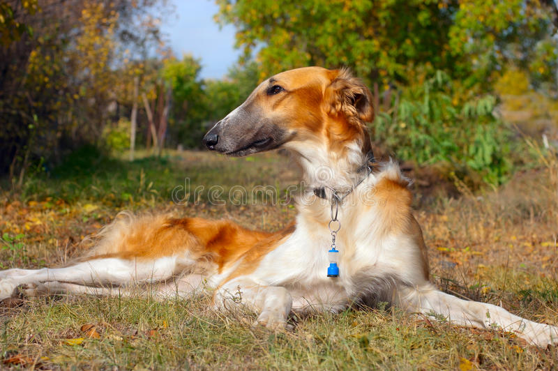 Download Russian wolfhound stock image. Image of breed, adorable - 21608145