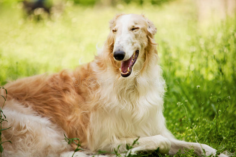 Russian wolfhound (borzoi ) stock images