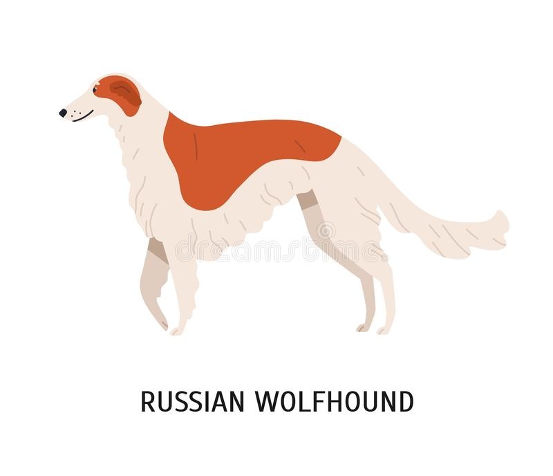 Russian wolfhound or Borzoi. Stunning lovely cute dog or sighthound isolated on white background. Gorgeous purebred. Domestic animal or pet of hunting breed vector illustration