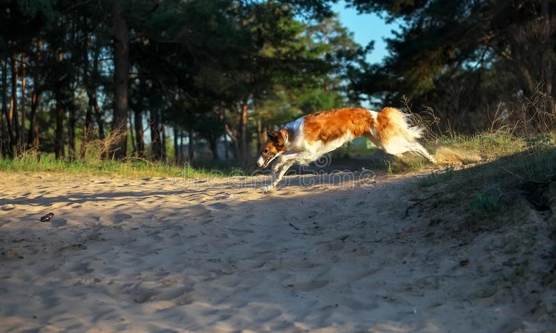 Russian Wolfhound Dog, Borzoi runs at high speed. Killer of wolves. One of the fastest hunting dogs in the world. Springtime, Outdoors stock photography