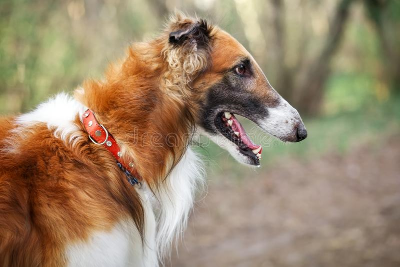 Russian Wolfhound Dog, Borzoi, Sighthound, Russkaya Psovaya Borzaya, Psovi. Killer of wolves. One of the fastest hunting dogs in royalty free stock image