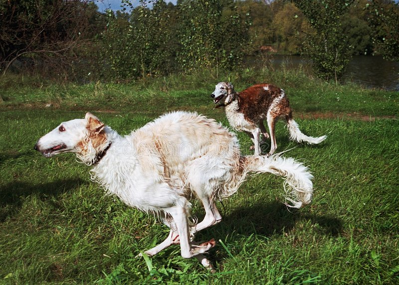 Download Russian wolfhounds running stock image. Image of animals - 124857