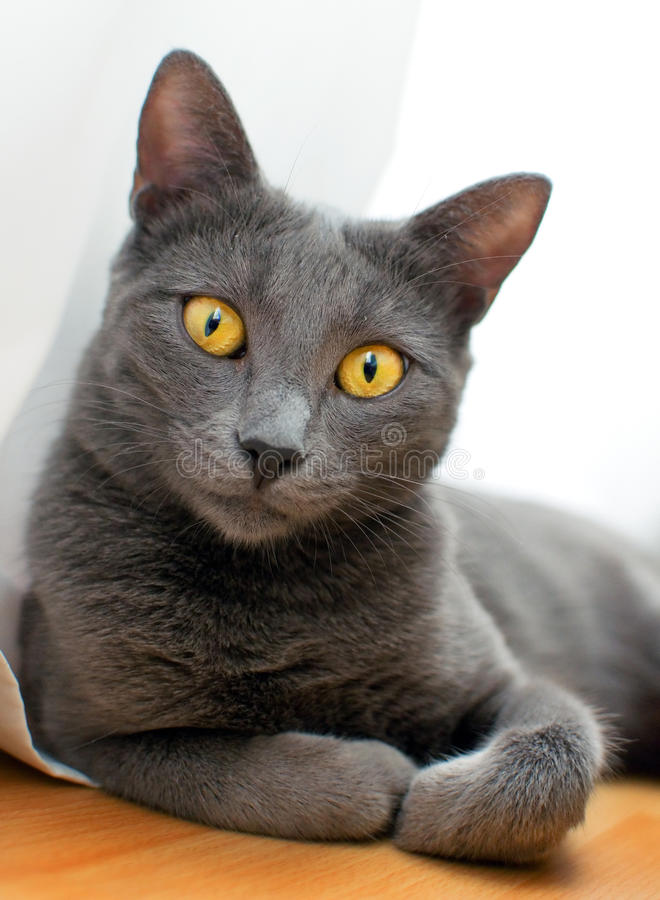 Russisch Blauw - het Glimlachen kat stock foto's