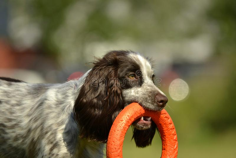 Russisch de jachtspaniel Jonge energieke hond op een gang Puppyonderwijs, cynology, intensieve opleiding van jonge honden Lopende royalty-vrije stock afbeeldingen