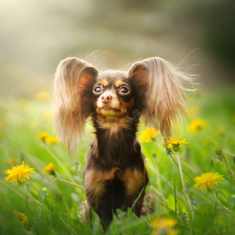 Russisch speelgoed Terrier Dog Long Haire stock foto's