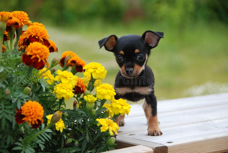 Russisch stuk speelgoed terriërpuppy met de bloemen stock fotografie