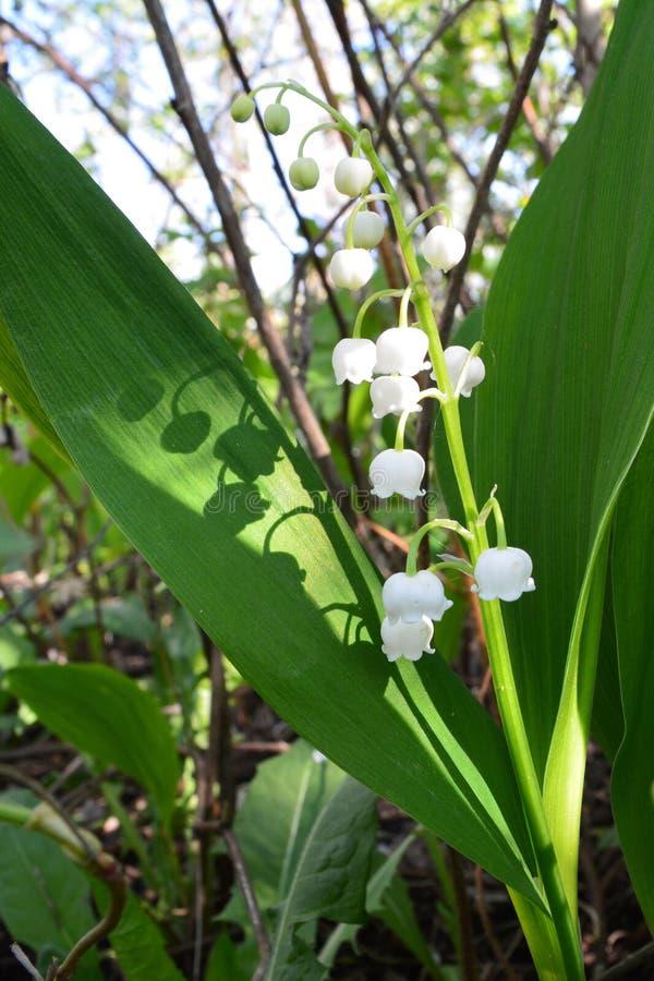 Russische aard, wilderniswereld Eerste bloemen in de lentetuin stock foto