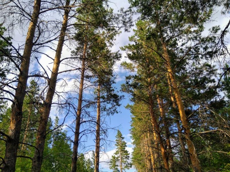 Russische aardbloemen - pijnbomen in dennenbos royalty-vrije stock foto's