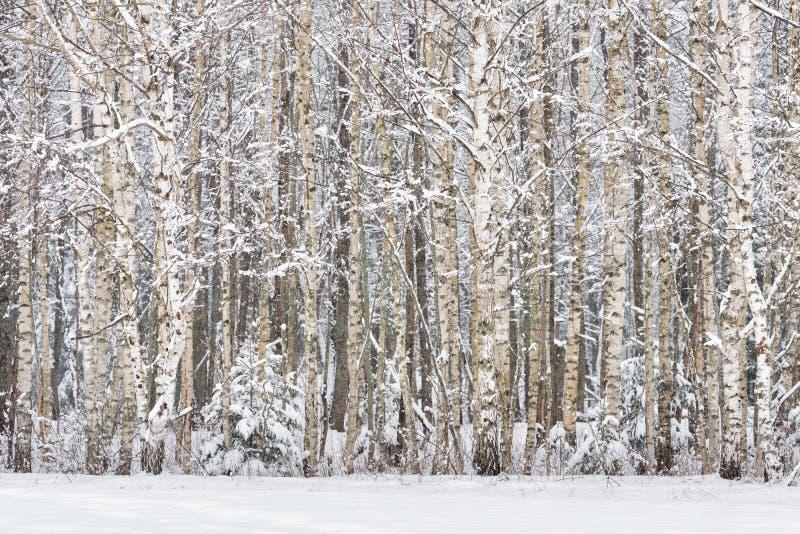 Russische berken Russisch de Winterlandschap met snow-covered berk bosboomstammen van berkbomen en sneeuw in de de winter boswins stock afbeeldingen