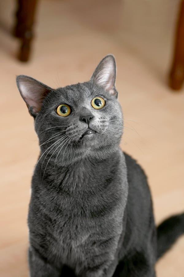 Russische blaue Katze stockbild. Bild von augen, konfus