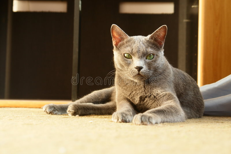 Russische blaue Katze lizenzfreie stockfotos