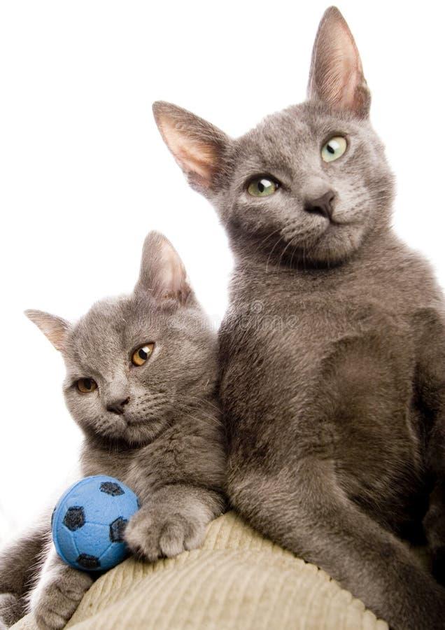 Russische blaue u. britische Shorthair Katzen lizenzfreie stockbilder