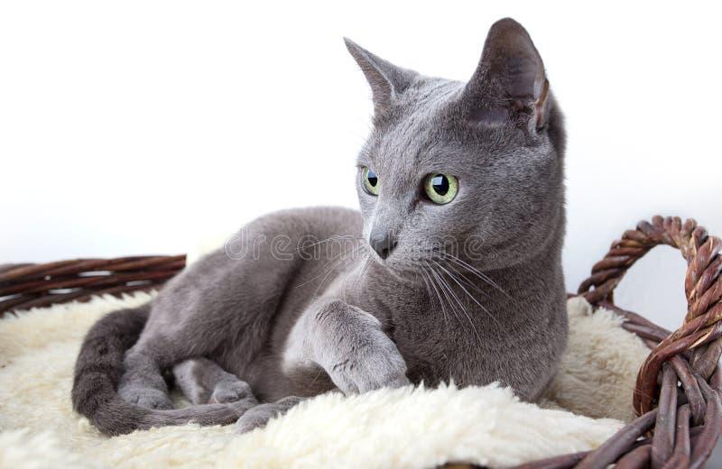 Russische Blauwe Kat stock fotografie