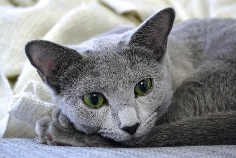 Russische Blauwe Kat royalty-vrije stock fotografie