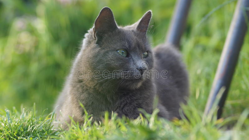 Russische blauwe kat met groene ogen royalty-vrije stock foto's