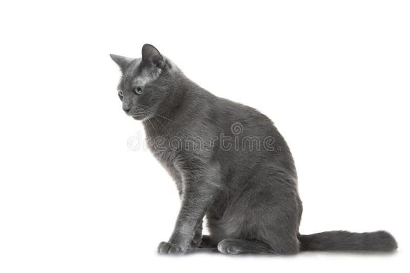 Download Russische Blauwe Kattenzitting Op Geïsoleerde Witte Achtergrond Stock Afbeelding - Afbeelding bestaande uit thoroughbred, zoogdier: 33002519