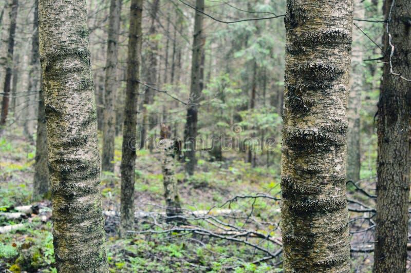 Russische gewone onoverschrijdbaare bos Siberische taiga stock foto