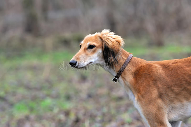 Russische hond Borzoi royalty-vrije stock afbeelding