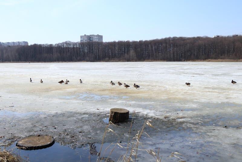 Russische rivierbank, boslijn in de herfst Eenden stock afbeelding