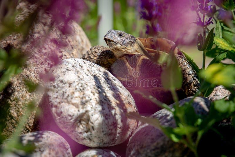Russische schildpad die op rots onderzoeken royalty-vrije stock afbeeldingen