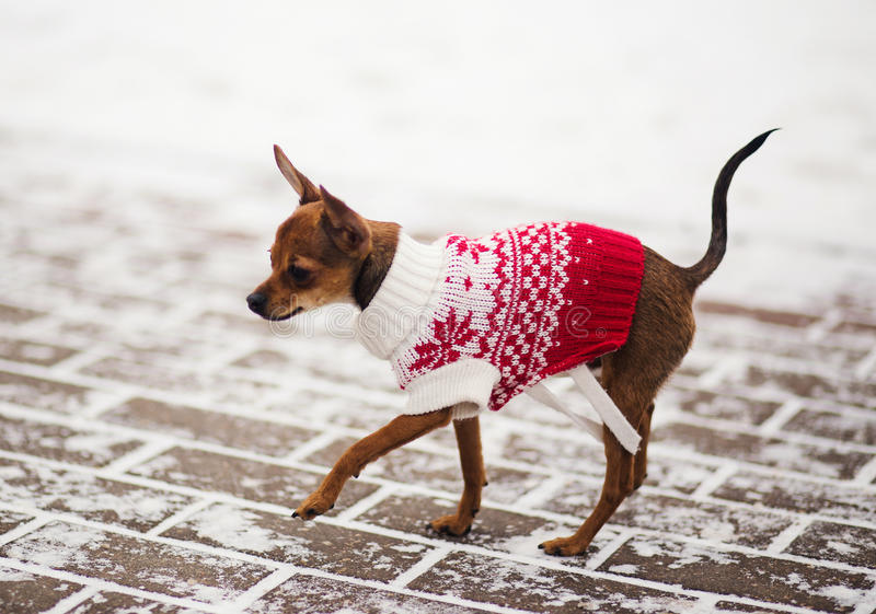 Russische stuk speelgoed terriër in een stadspark in de winter stock foto