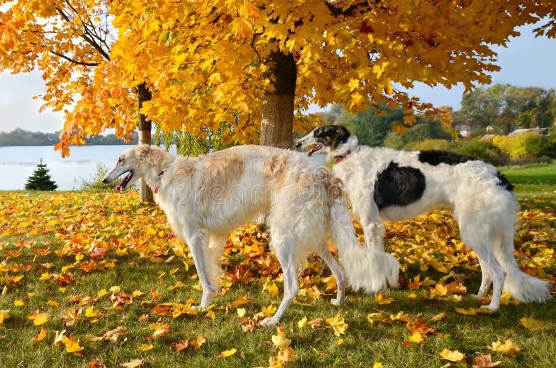 Russische Windhunde stockfotos