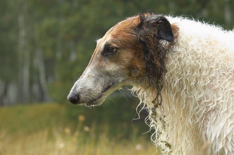 Russische wolfshond #05 stock fotografie