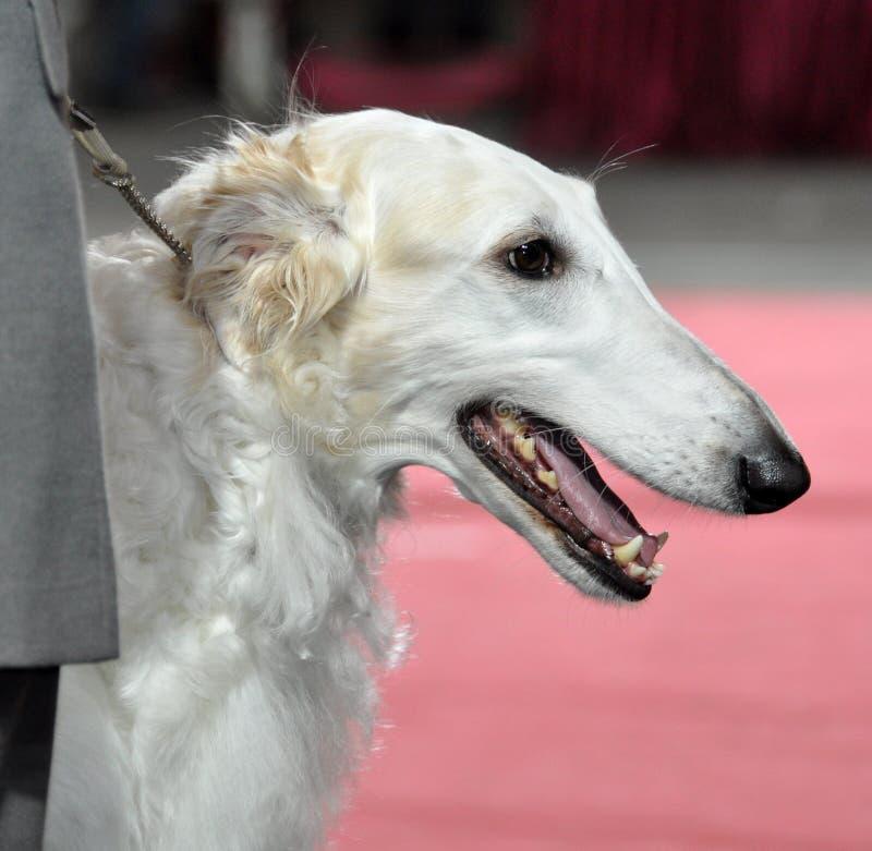 Russischer Barzoi - Wolfshundhund stockfotografie