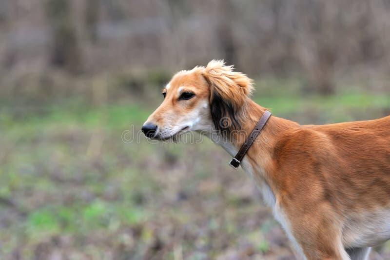 Russischer Borzoihund lizenzfreies stockbild