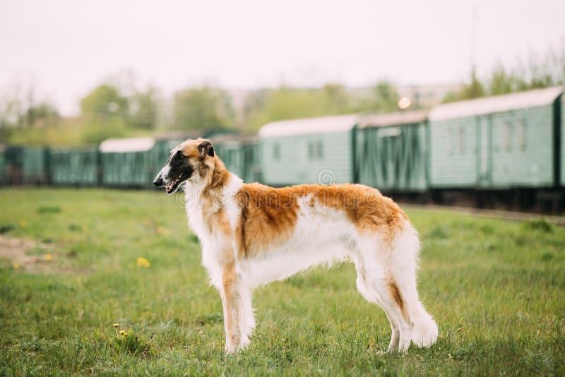 Download Russischer Hund, Barzoi Gazehound Aufstellung Im Freien Stockbild - Bild von windhund, nett: 106803149