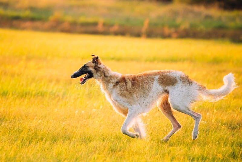 Russischer Hund, Barzoi-laufende Sommer-Sonnenuntergang-Sonnenaufgang-Wiese oder Feld lizenzfreie stockfotos