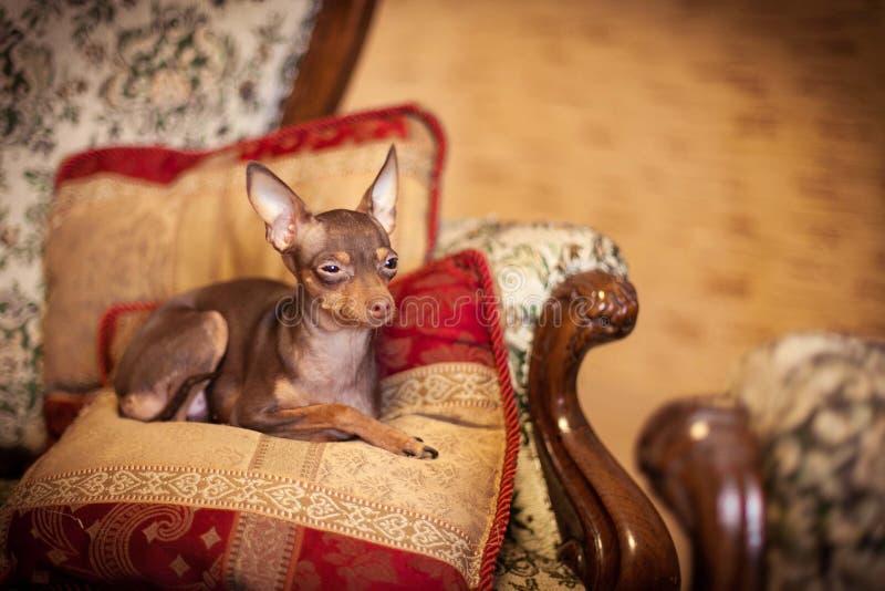 Russischer Spielzeugterrierhund lizenzfreies stockbild