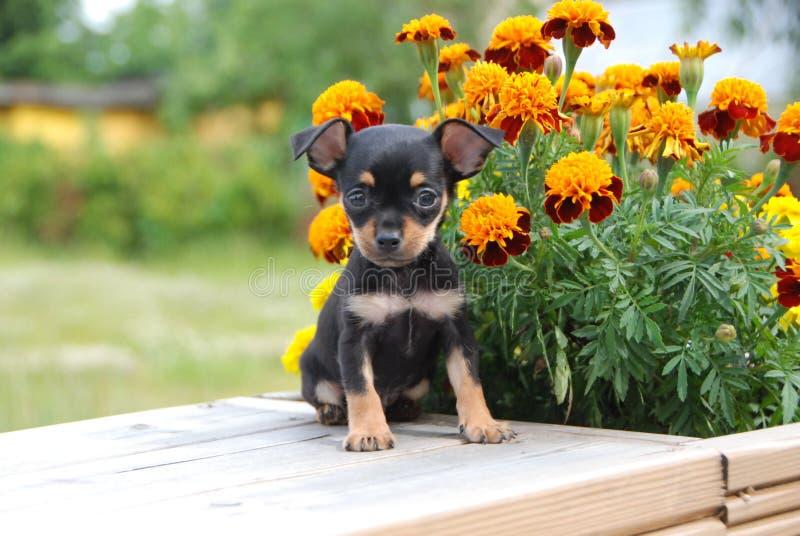 Russischer Spielzeugterrierminiaturwelpe mit den Blumen stockfoto