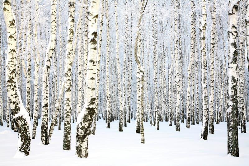 Russischer Winter - Birken-Waldung lizenzfreie stockbilder