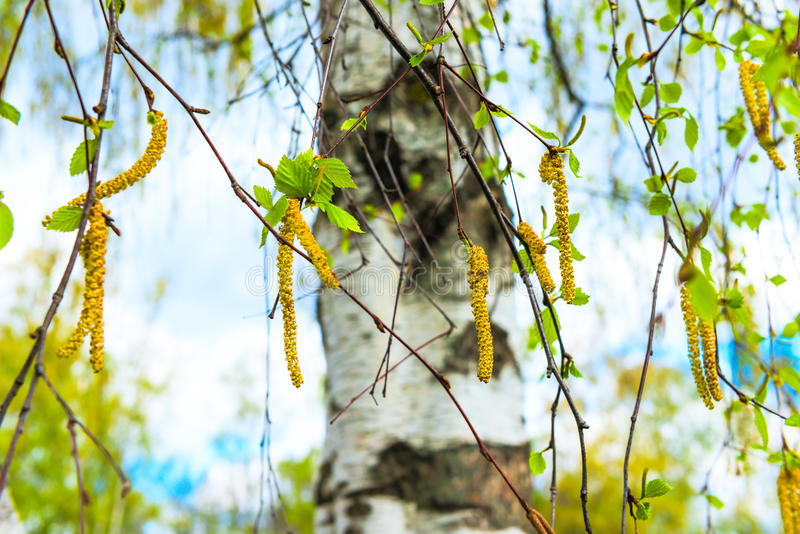 Russisches Birkenohrringblühen stockfoto