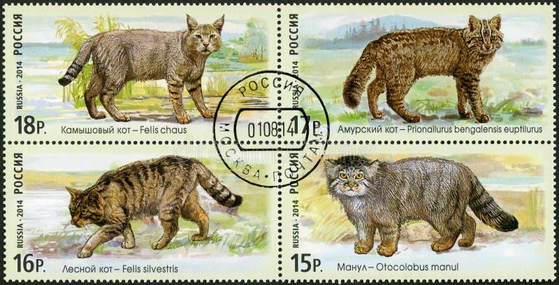 RUSSLAND - 2014: Showschnee-Reihe die Fauna von Russland Wilde Katzen stockbilder