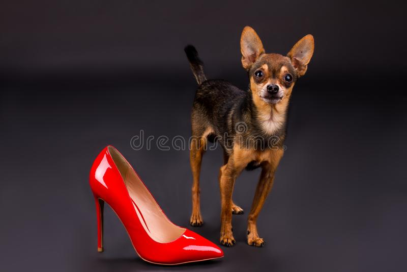 Russo giocattolo-Terrier e tallone rosso fotografia stock
