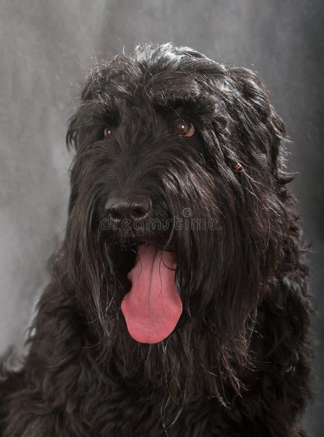 Russo nero Terrier immagine stock libera da diritti