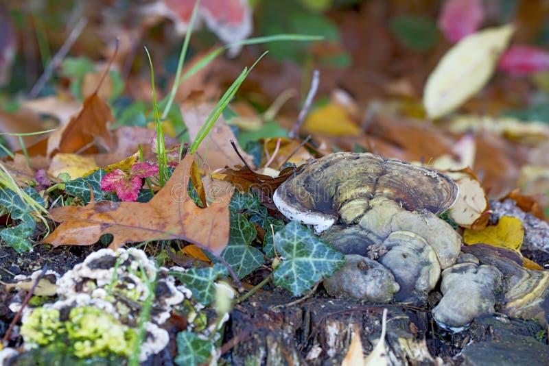 Russulachampinjon i skogen arkivbilder