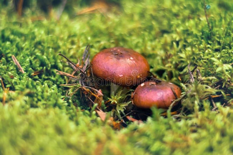 Russulapilze mit einem braunen Hut, verstecktes Wachsen im grünen Moos Große Details! lizenzfreie stockfotografie