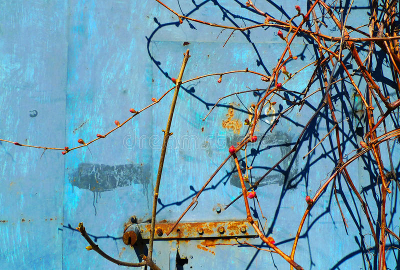 Rust on blue old painted metal. Spring grapevine with kidneys. stock photo