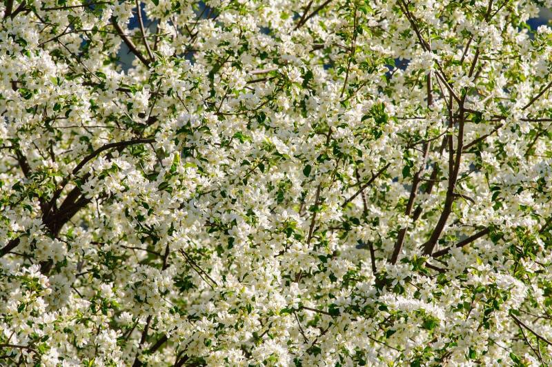 Rust plaats met appelboom in volledige bloesem royalty-vrije stock foto