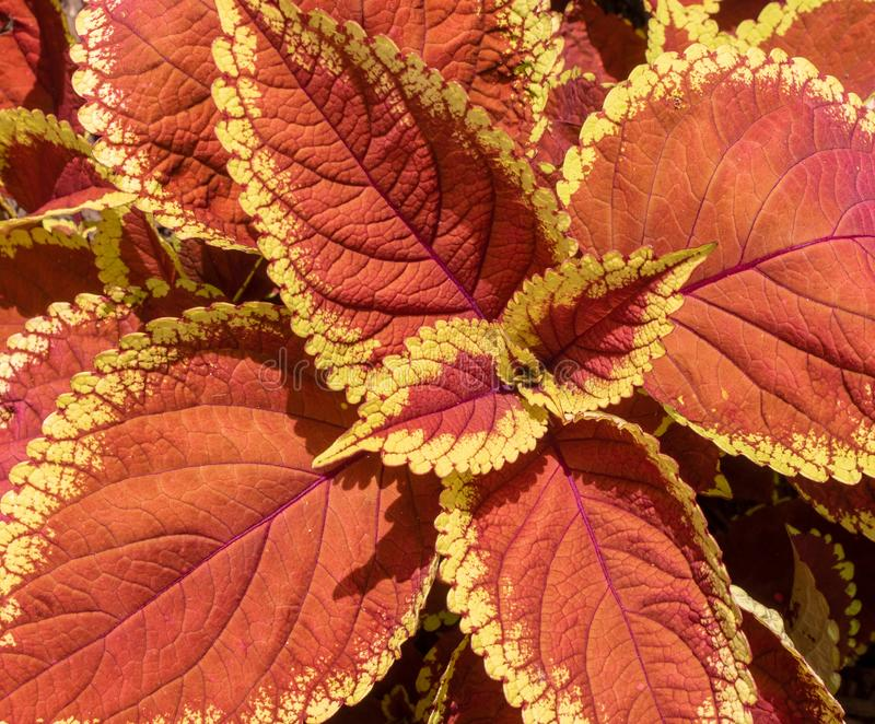 Rust and yellow coleus `Trusty Rusty` foliage. Close up of the leaves from the rust and yellow coleus `Trusty Rusty royalty free stock photo